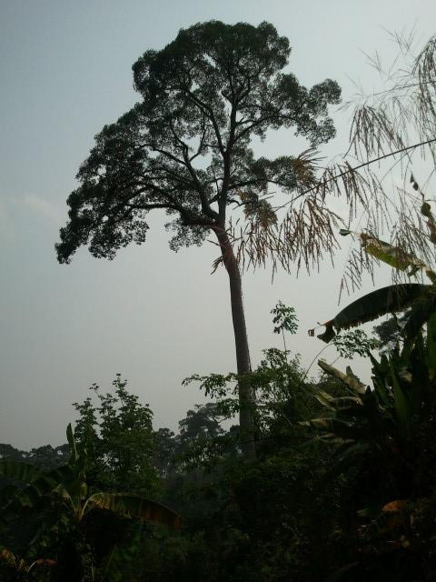 蜂の巣がある高い木にハシゴ