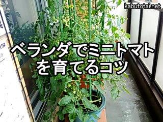ベランダでミニトマトを育てるコツ