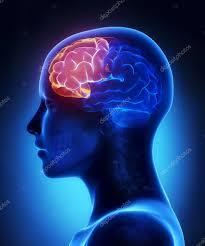 前頭葉の位置