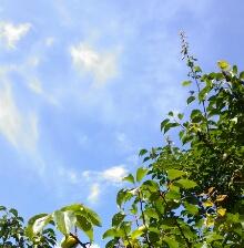 青空の梅の木