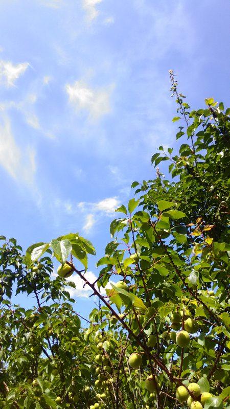 梅と青空を見ながらテラスで