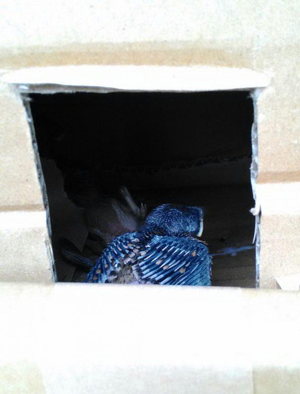巣箱の中のヒナ