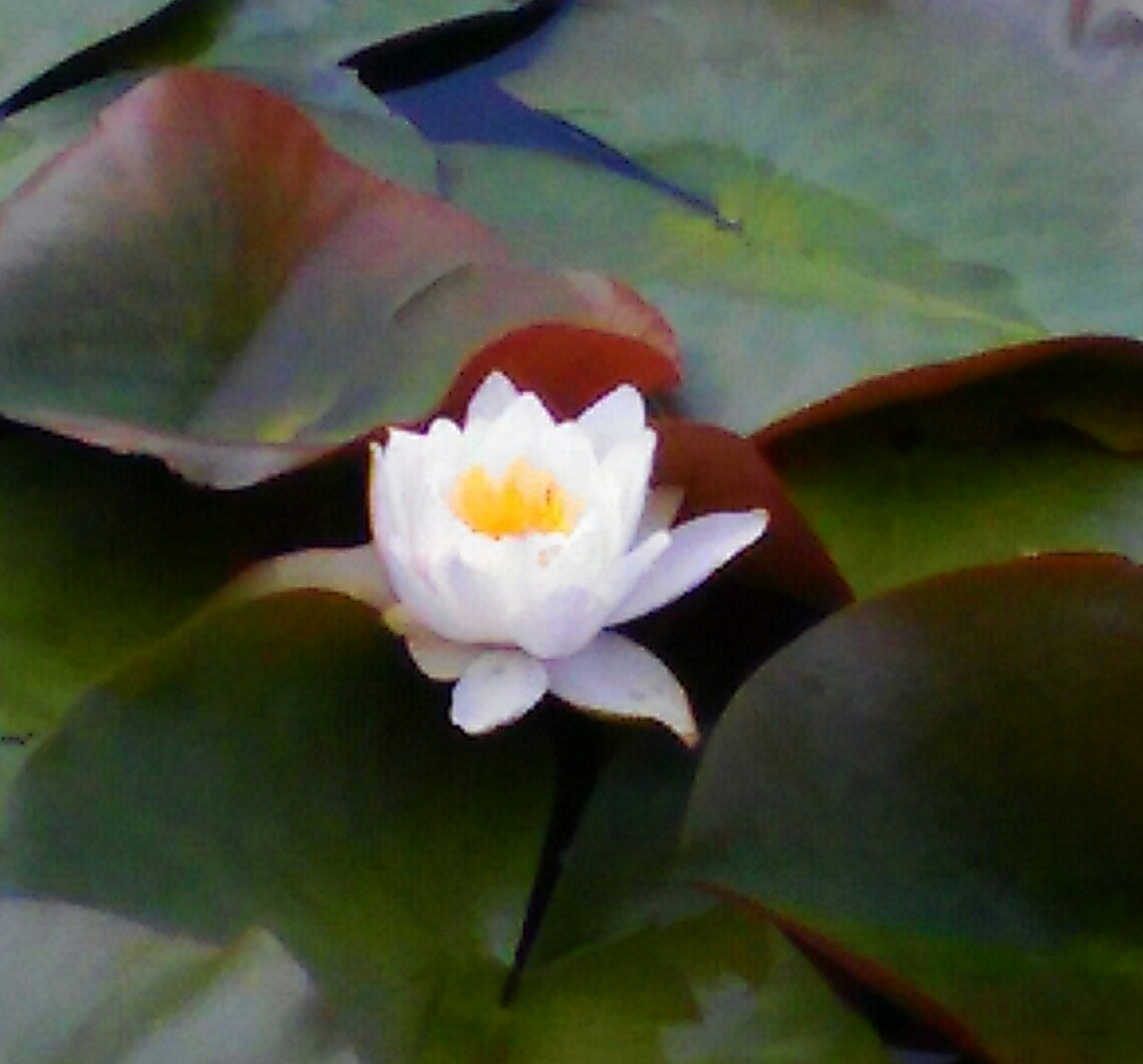 蓮の池に咲く蓮の花