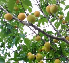 梅の実【カブとタイ】www.kabutotai.net