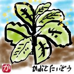 【家庭菜園】チシャ(チマサンチュ)は美味しいし、栽培が簡単でどんどん収穫できる
