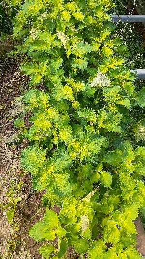 初秋の庭:kabutotai.net